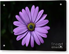 Acrylic Print featuring the photograph Purple African Daisy by Scott Lyons