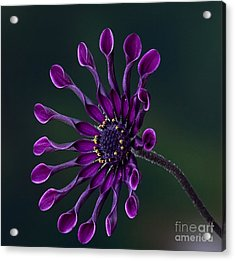 Purple African Daisy Acrylic Print by Shirley Mangini