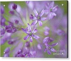 Purple Allium Flower Acrylic Print by Juli Scalzi