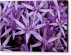 Purple Allium Acrylic Print