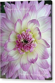 Acrylic Print featuring the photograph Purple And Cream Dahlia by Jeannie Rhode