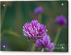 Purple And White In Harmony Acrylic Print by Zori Minkova