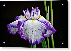 Acrylic Print featuring the photograph Purple And White Iris by Linda Brown