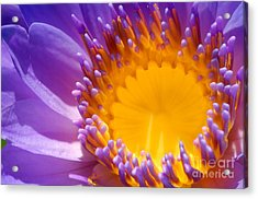 Purple And Yellow Water Lily Close Up Acrylic Print