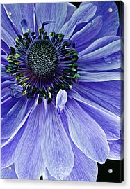 Purple Anemone Acrylic Print by Art Barker