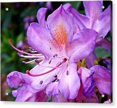 Purple Azalea Acrylic Print by Rona Black