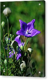 Purple Balloon Flower Acrylic Print by Anonymous