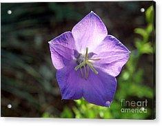 Purple Balloon Flower In Bloom Acrylic Print by Kenny Glotfelty