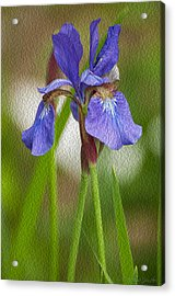 Purple Bearded Iris Oil Acrylic Print