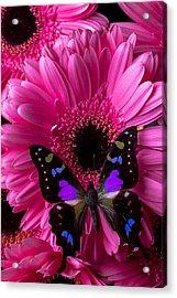 Purple Black Butterfly Acrylic Print