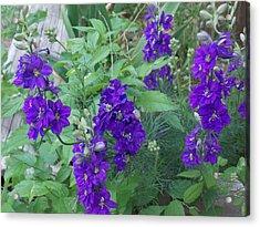 Purple Blossoms Acrylic Print