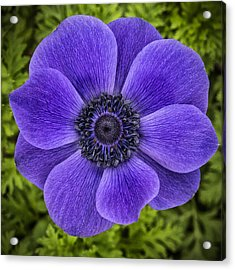 Purple Blue Anemone Acrylic Print