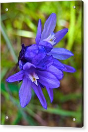 Purple Blue Dicks In Park Sierra-ca Acrylic Print by Ruth Hager