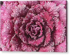 Purple Cabbage On A Frosty Morning Mill Acrylic Print by Stuart Westmorland