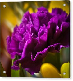 Purple Carnation Acrylic Print