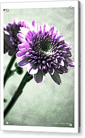Purple Chrysanthemum Acrylic Print by Michelle Frizzell-Thompson