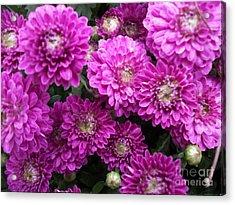 Purple Chrysanthemums Print Acrylic Print