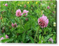 Purple Clover Wild Flower In Midwest United States Meadow Acrylic Print by Adam Long