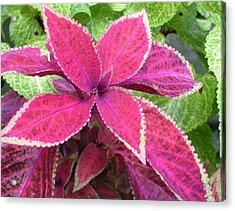 Purple Coleus Acrylic Print by Dusty Reed