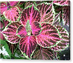 Purple Coleus With Seeds Acrylic Print by Dusty Reed