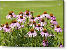 Purple Cone Flowers Acrylic Print
