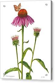 Purple Coneflower - Echinacea Purpurea  Acrylic Print