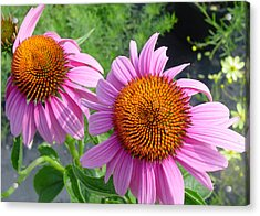 Purple Coneflowers Acrylic Print by Suzanne Gaff