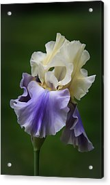 Acrylic Print featuring the photograph Purple Cream Bearded Iris by Patti Deters