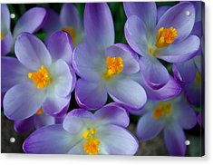 Purple Crocus Gems Acrylic Print