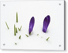 Purple Crocus In The White Snow - Spring Meets Winter Acrylic Print by Matthias Hauser