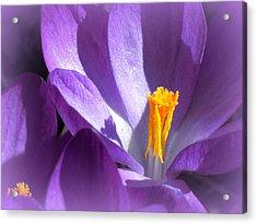 Purple Crocuses Before Spring Acrylic Print by Heidi Manly