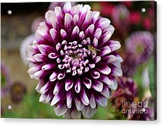 Purple Dahlia White Tips Acrylic Print