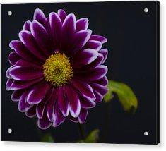 Purple Daisy Acrylic Print by Dennis Reagan