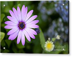 Purple Daisy Acrylic Print by Design Windmill
