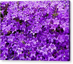 Purple Dalmatian Bellflower Acrylic Print by Vanessa Thomas