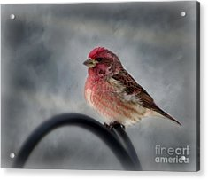 Purple Finch Acrylic Print by Brenda Bostic