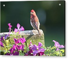 Purple Finch By Clematis Acrylic Print