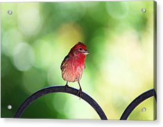 Acrylic Print featuring the photograph Purple Finch by Trina  Ansel