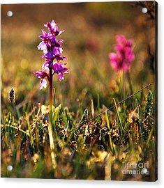 Acrylic Print featuring the photograph Purple Flower In Back Light by Kennerth and Birgitta Kullman