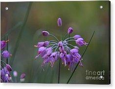 Purple Flower Acrylic Print by Zori Minkova