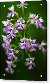 Purple Fringed Orchid Acrylic Print