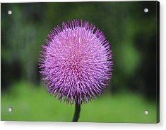Purple Fuzz Acrylic Print by Richard Gehlbach