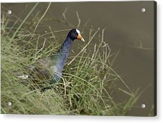 Acrylic Print featuring the photograph Purple Gallinule by Betty Depee
