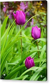 Purple Gems- Purple Tulips Rhode Island Tulips Purple Flower Acrylic Print by Lourry Legarde