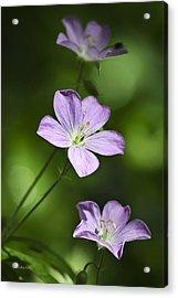 Purple Geranium Flowers Acrylic Print by Christina Rollo