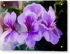 Purple Geraniums  Acrylic Print