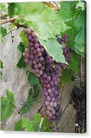 Purple Grapes On The Vine Acrylic Print