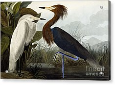 Purple Heron Acrylic Print by John James Audubon