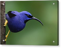 Purple Honeycreeper Acrylic Print by Joe Sweeney