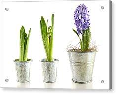 Purple Hyacinth In Garden Pots On White Acrylic Print by Sandra Cunningham